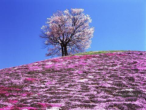 Sakuranight