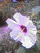 Hibisucus
